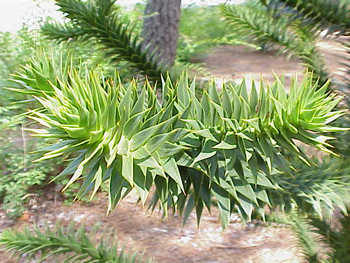 Sowing Monkey Puzzle Tree Seeds Araucaria Araucana Birds Of A Feather B B